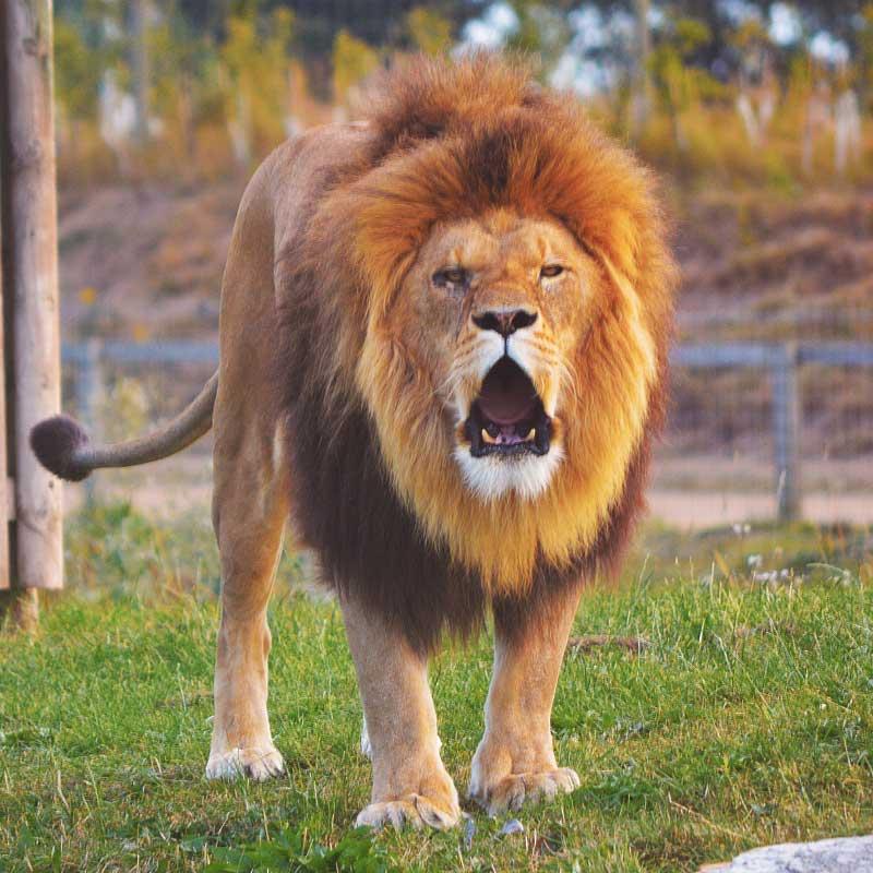 Authority - Lion